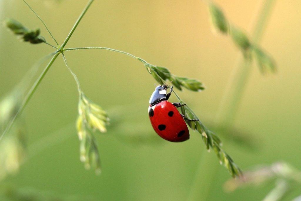 ladybug, beetle, coccinellidae